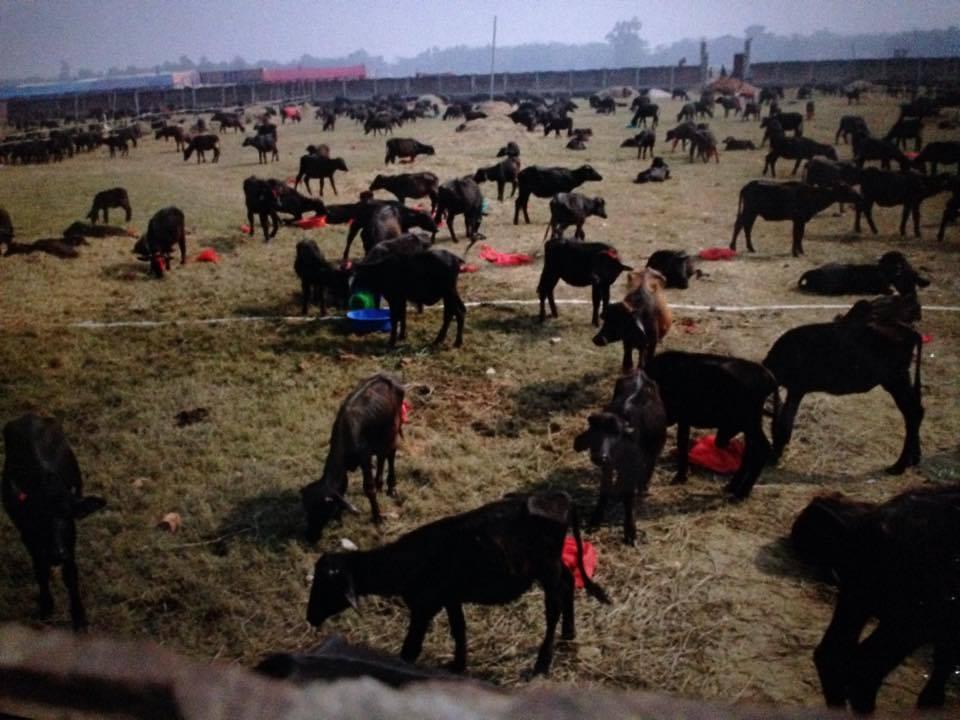 Animal sacrifice at Nepal's Gadhimai temple banned