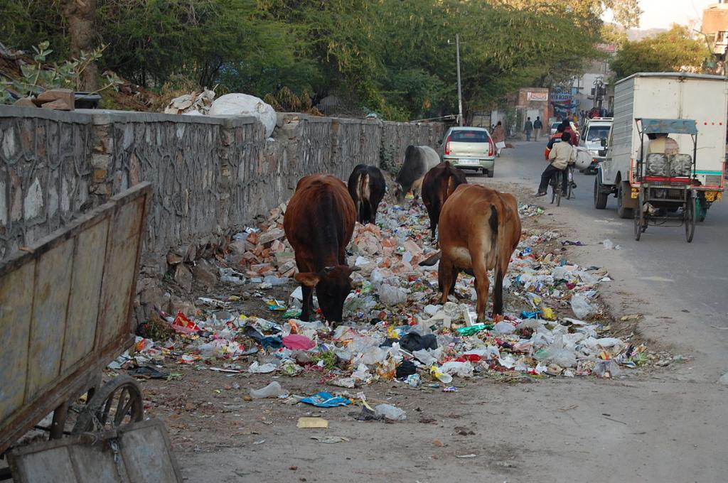 Cows at a garbage dump in Jaipur  Credit: Wikipedia