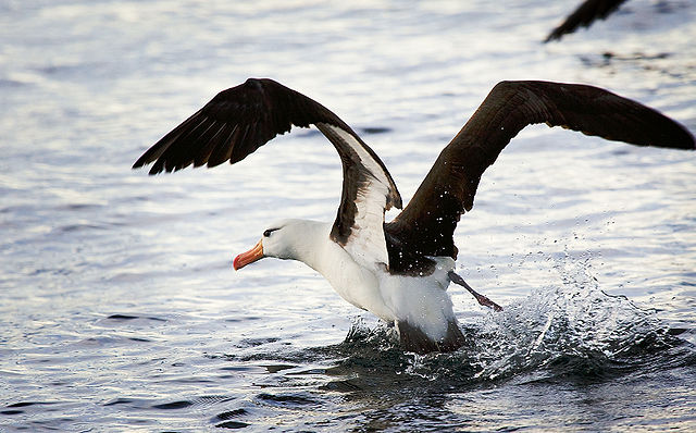Seabirds are eating plastic litter in our oceans—but not only where you'd expect