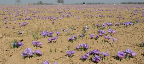 National Saffron Mission has failed due to government insensitivity, say growers