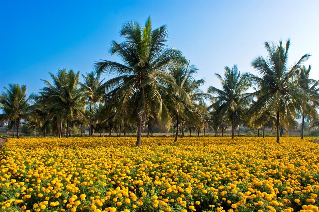 India's climatic conditions are quite favourable for floriculture (Photo: Wikimedia Commons)