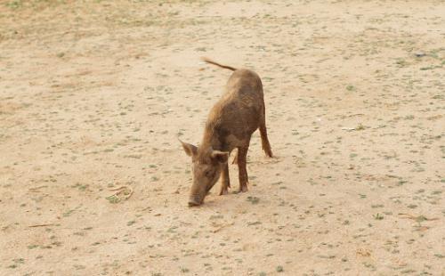 Wild boar declared vermin in Uttarakhand