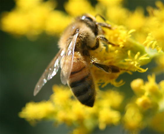 Transportation for pollination causing spread of deadly disease in bees