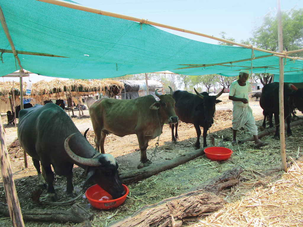 A cattle camp near Beed town. The camp buys 36,000 litres of water daily for the 799 cattle it houses. The per day cost of water and fodder at the camp is Rs 33,600. Beed district has 262 cattle camps with 260,925 head of cattle