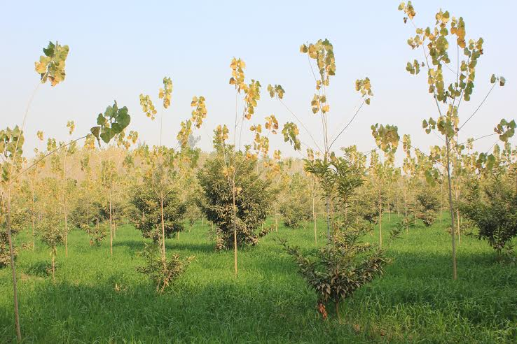 Enhancing the efficiency of farms by planting and integrating fast-growing trees under farm forestry and agroforestry is a reasonable and realistic alternative to meet the ever-increasing demand for wood Credit: Arvind Bijalwan