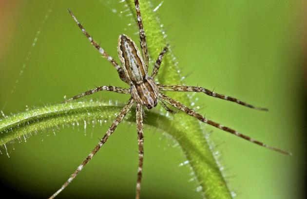 Six new spider species discovered in the Western Ghats