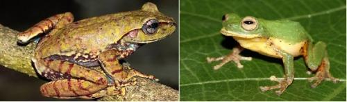 New species of frog discovered in Western Ghats