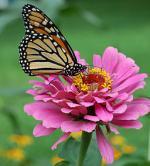 Monarch butterflies face risk of extinction due to habitat loss