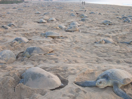 Gahiramatha is the world's largest rookery of the Olive Ridley sea turtles. Protecting the endangered turtles is already a problem because the post of about 30 forest guards is lying vacant since long, say forest officials (Photo by Ashis Senapati)