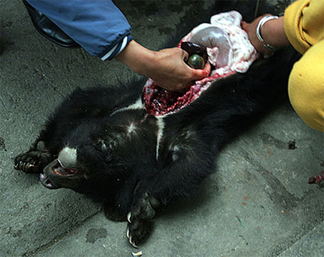 An Asian black bear just killed in a market in northern Myanmar for its gallbladder. Photo: Chris R. Shepherd/TRAFFIC Southeast Asia