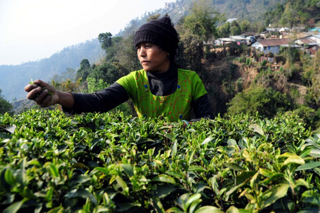 While first flush tea fetches high returns for Darjeeling gardens, the second flush is prized in the Assam tea estates. Producer association claim low rainfall and pest attack will hurt production of these premium teas  (Photo: Sayantan Bera)