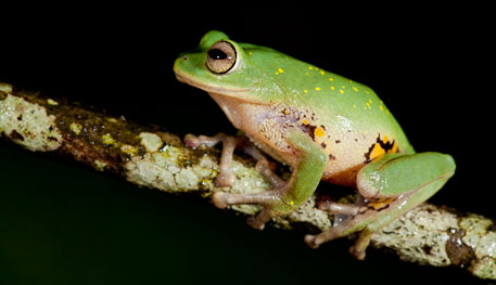 Nine new frog species found in Western Ghats