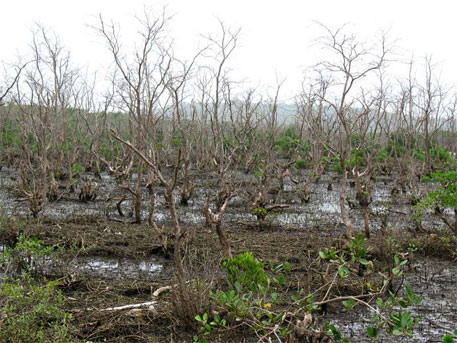 Dead Mangrove trees within the area encircled by bund on Sakhartar creek in absence of adequate tidal water