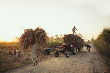 Farmers collect their cane harvest in Meerut district, western Uttar Pradesh