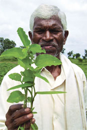 Tender leaves of karanji, a wild plant, is the favourite of tribals of Yavatmal district in Maharashtra