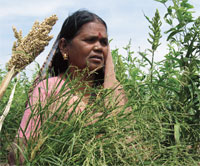 Millets are traditionally grown without chemical inputs by small, marginal farmers