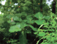 Spiders weave web in tiger den