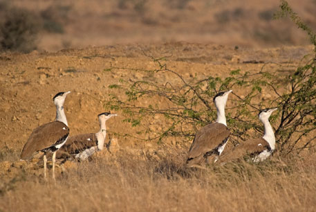 The bird has disappeared from more than 90% of its former range (Photo credit: Arpit Deomurari/Conservation India)
