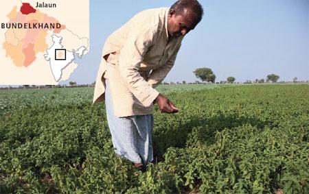 Farmers quit mentha