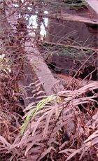 Iron ore dust from a steel plant settles on ferns struggling to survive