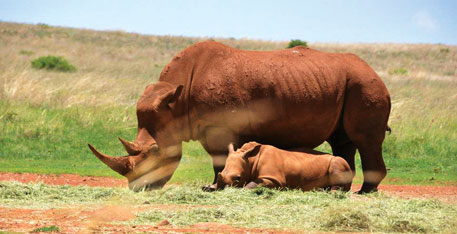 The cost of an African rhino horn is between $65,000 and $70,000