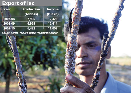 Santosh Nirmal Horo grows lac on semialata plant in his backyard