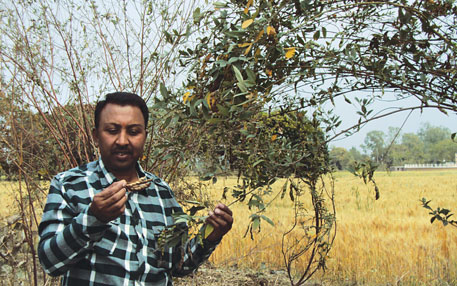 Raj Kumar Rathore accidentally found the unique pigeon pea plant
