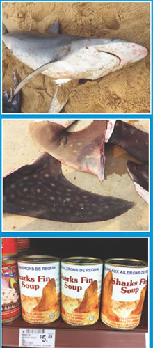 When a shark is thrown back into the sea after finning, unable to swim, it sinks to the bottom and dies a slow and cruel death. The fisher sells the fin to exporter. It is high in demand in China for making shark fin soup, a delicacy