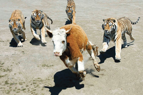 Siberian tigers chase a young steer