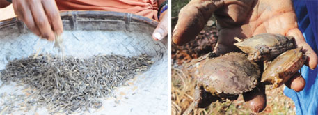 The rice is digested slowly and gives energy for a long time; crabs cultivated in the paddy fields