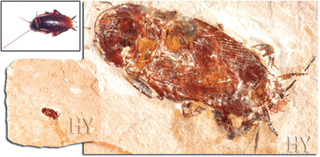A cockroach fossil trapped in tree resin has been found in Lebanon