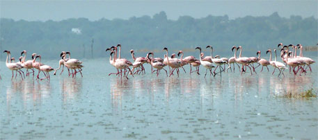 Sambhar salt lake is the second largest breeding ground of flamingoes in India