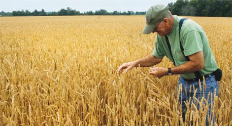 Crops losing protein