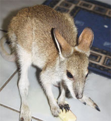 The wallaby joey was rescued after being posted for sale on Facebook