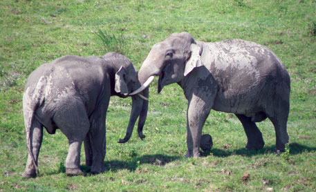 Even tuskers do not use tusks for fighting. They mostly head-butt or wrestle with their trunks