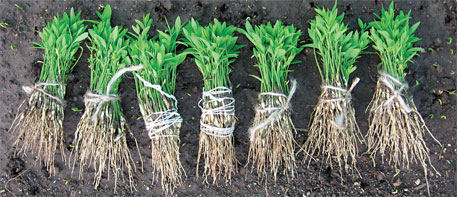 seedlings will mature and become ready for harvest in 15-20 years
