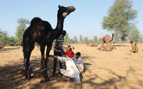 In the absence of regular fodder, camels are chronically hungry and predisposed to diseases