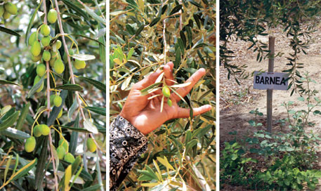 Rajasthan's olive dream