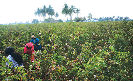Farm workers pick bolls of Suvin cotton from fields in Salem district