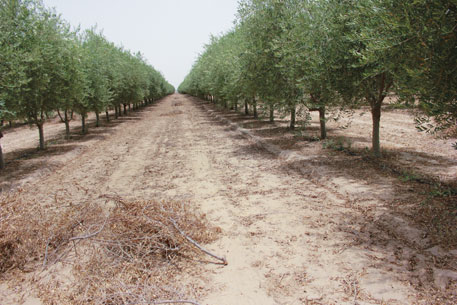 Olive orchard in Bikaner