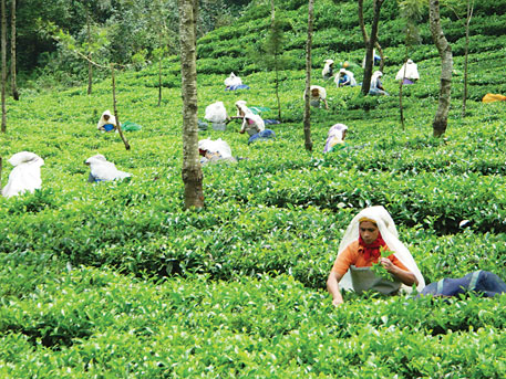 Most tea gardens in Kerala are old. Growers are reluctant to replant the gardens both during price boom and price crash