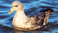Fulmars are ideal indicators of marine littering as they eat exclusively at sea