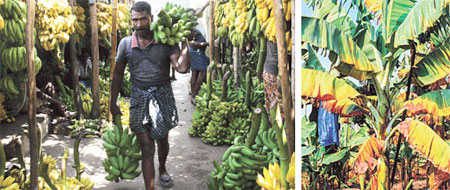 India gets ready for banana war