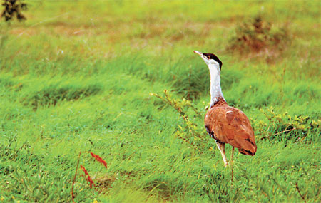 Endgame for bustards