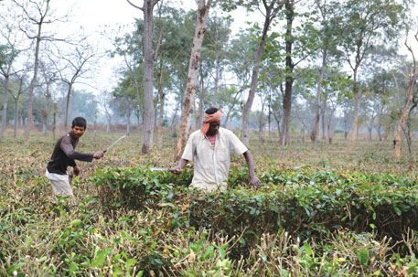 Workers at the closed Bundapani tea estate voluntarily prune bushes in the hope of a new buyer
