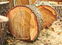 Tree rings hold the key