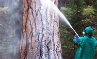 A pine tree is sprayed with carbaryl in Bitterroot National Forest in Montana in the US to check mountain pine beetle infestation