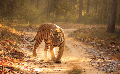 NGT steps in to save Kanha tiger from small-scale mines
