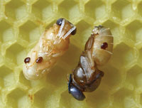Bee larvae infected with the parasitic mite Varroa destructor