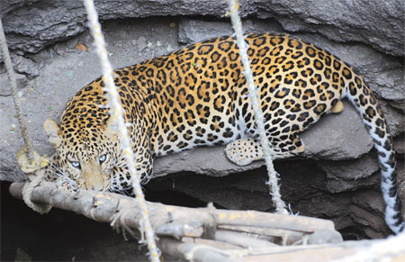 Four leopards killed every week in India: WWF